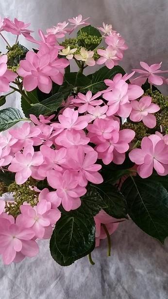 画像2: 母の日に紫陽花♪